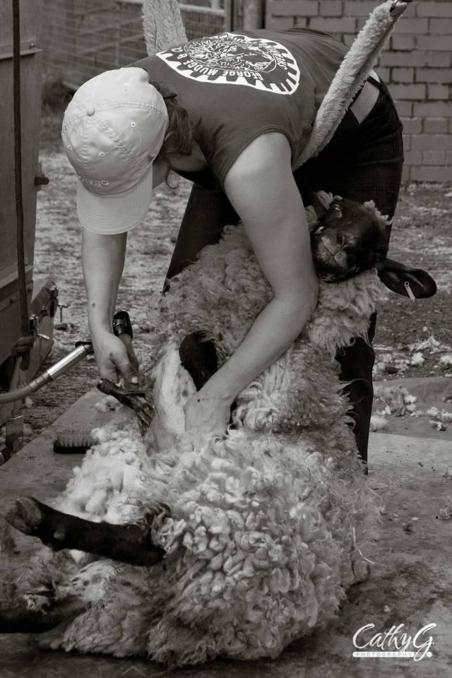 sheep-Shearing-wm