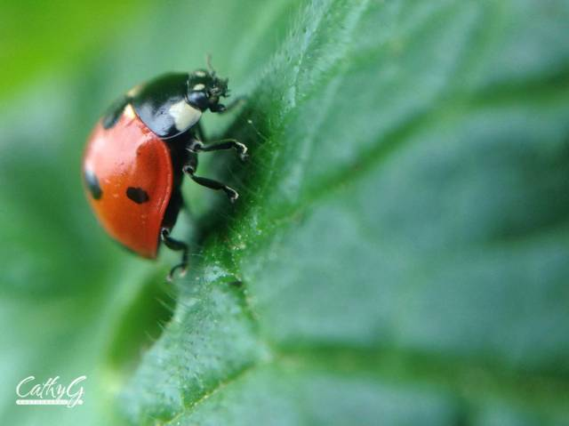 Ladybug-wm
